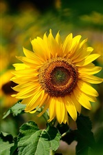 Preview iPhone wallpaper Sunflower focus, blurry background, yellow petals, summer