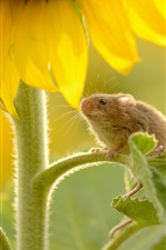 Sunflower, mouse, leaves