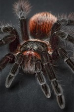 Preview iPhone wallpaper Tarantula spider, insect