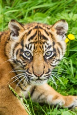 Preview iPhone wallpaper Tiger cub, grass, Sumatran