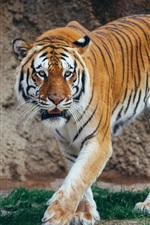 Preview iPhone wallpaper Tiger walk, predator photography, big cat