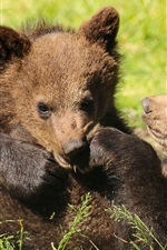 Preview iPhone wallpaper Two bears cubs playful, grass