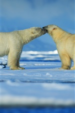 Preview iPhone wallpaper Two polar bears, friendly, snow