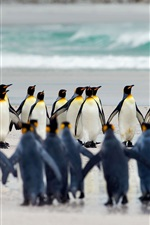 Preview iPhone wallpaper Volunteer Point, Falkland Islands, king penguins