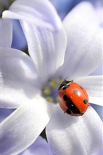 Preview iPhone wallpaper White flowers, red ladybug