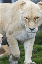 Preview iPhone wallpaper White lioness, look, rest, grass