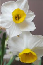 Preview iPhone wallpaper White petals daffodils close-up