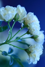 Preview iPhone wallpaper White rose flowers, dew