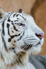 Preview iPhone wallpaper White tiger, head, face, predator