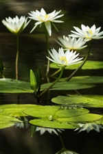 Preview iPhone wallpaper White water lilies, green leaves, reflection