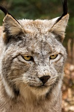 Preview iPhone wallpaper Wild cat, face, yellow eyes, look, lynx