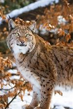 Preview iPhone wallpaper Wild cat, lynx, snow, winter