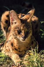 Preview iPhone wallpaper Wild cat, serval, grass, night
