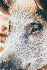 Preview iPhone wallpaper Wild pig, head, mouth, eyes, ears