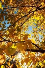 Yellow leaves, birch, trees, sun rays, autumn