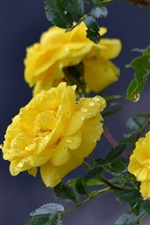 Preview iPhone wallpaper Yellow rose flowers, dew