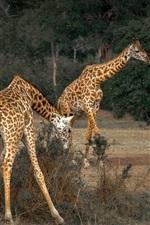 Preview iPhone wallpaper Africa, giraffe, wildlife