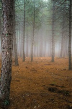 Autumn, forest, trees, fog, dawn