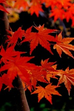 Preview iPhone wallpaper Autumn, maple tree, red leaves