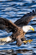 Bald eagle, attack, wings, flight, water