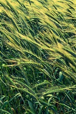 Preview iPhone wallpaper Barley field, green