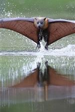 Bat flying, wings, water
