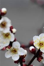 Beautiful white plum flowers bloom
