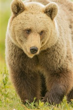 Preview iPhone wallpaper Brown bear walk in grass