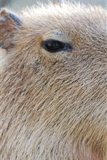 Preview iPhone wallpaper Capybara close-up, face