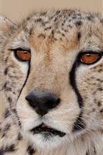 Preview iPhone wallpaper Cheetah close-up, face, predator