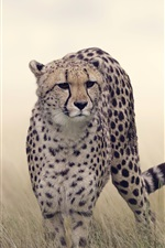 Preview iPhone wallpaper Cheetah, grass, wildlife