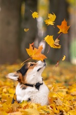 Preview iPhone wallpaper Corgi in autumn, dog, yellow maple leaves