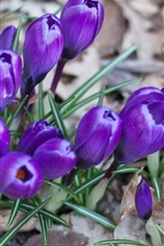 Preview iPhone wallpaper Crocus, blue flowers, grass