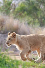 Preview iPhone wallpaper Cute lion cub walk