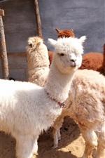 Preview iPhone wallpaper Cute white alpaca