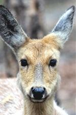 Deer front view, look