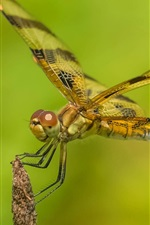 Preview iPhone wallpaper Dragonfly close-up, green background