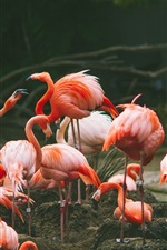 Preview iPhone wallpaper Flamingo photography, birds