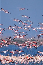 Preview iPhone wallpaper Flamingo world, birds, lake