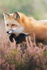Preview iPhone wallpaper Fox walk in the wildflowers