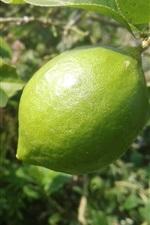 Fruta fotografia, limão verde, folhas