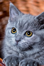 Preview iPhone wallpaper Furry grey kitten look at you