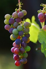 Grapes, red and green, leaves, vines