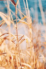 Preview iPhone wallpaper Grass, reed, summer
