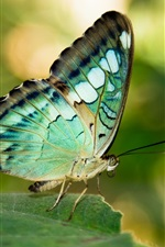 Preview iPhone wallpaper Green or blue wings butterfly, leaf, insect