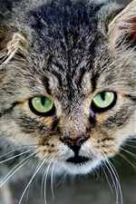 Preview iPhone wallpaper Grey cat front view, green eyes