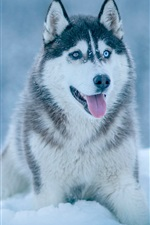 Preview iPhone wallpaper Husky dog in snow, winter
