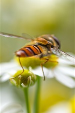 Preview iPhone wallpaper Insect macro photography, bee, flowers