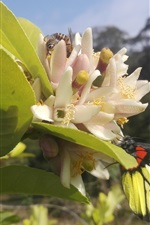 Preview iPhone wallpaper Lemon tree, flowers, bee, butterfly