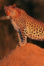 Preview iPhone wallpaper Leopard at sunset